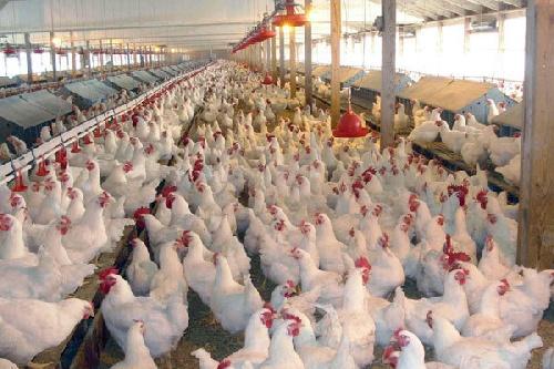 تحقیق درباره عوامل خطر و تاثیر هر یک در مزارع پرورش مرغ گوشتی